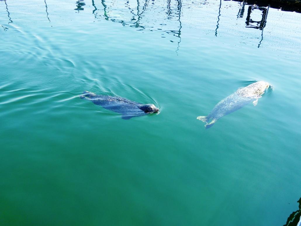 Zwei Robben tummeln sihc im grünlich schillernden asser.