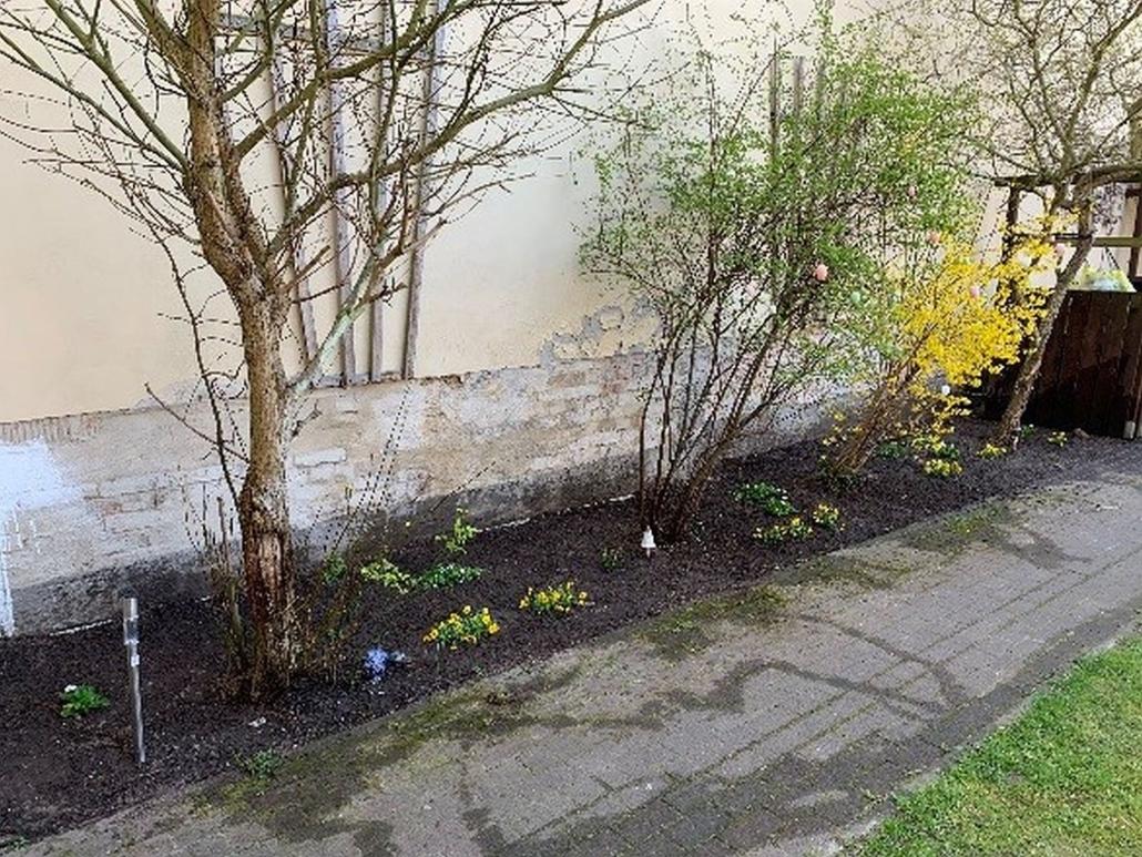 An der Hauswand ist eine etwa 1 m breite Rabatte angelegt worden. Auf dieser stehen Bäume und Sträucher. Eine Forsythie blüht.