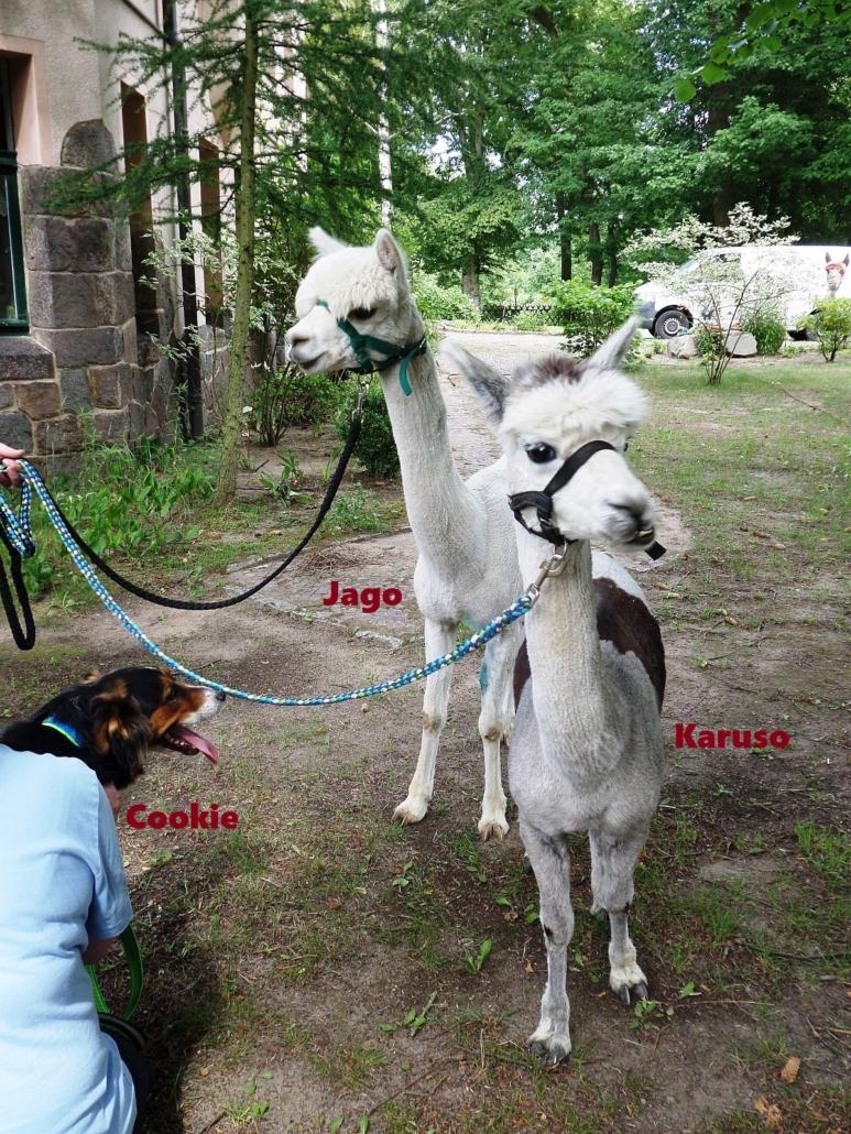 Ein weißes und ein leicht graues Alpakas blicken neugierig in die Gegend. Das graue hat einen großen braunen Fleck auf dem Rücken, der fast aussieht wie ein Sattel. Vorn links schaut der Kopf des Hundes Cookie ins Bild.