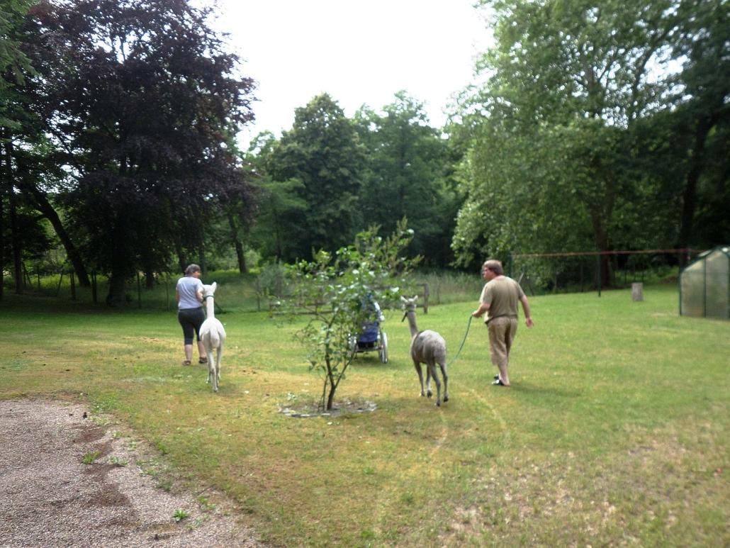 Eine Bewohnerin führt das weiße und ein Bewohner das graue Alpaka an der Leine über die Wiese. Vor ihnen fährt eine Frau im Rollstuhl.