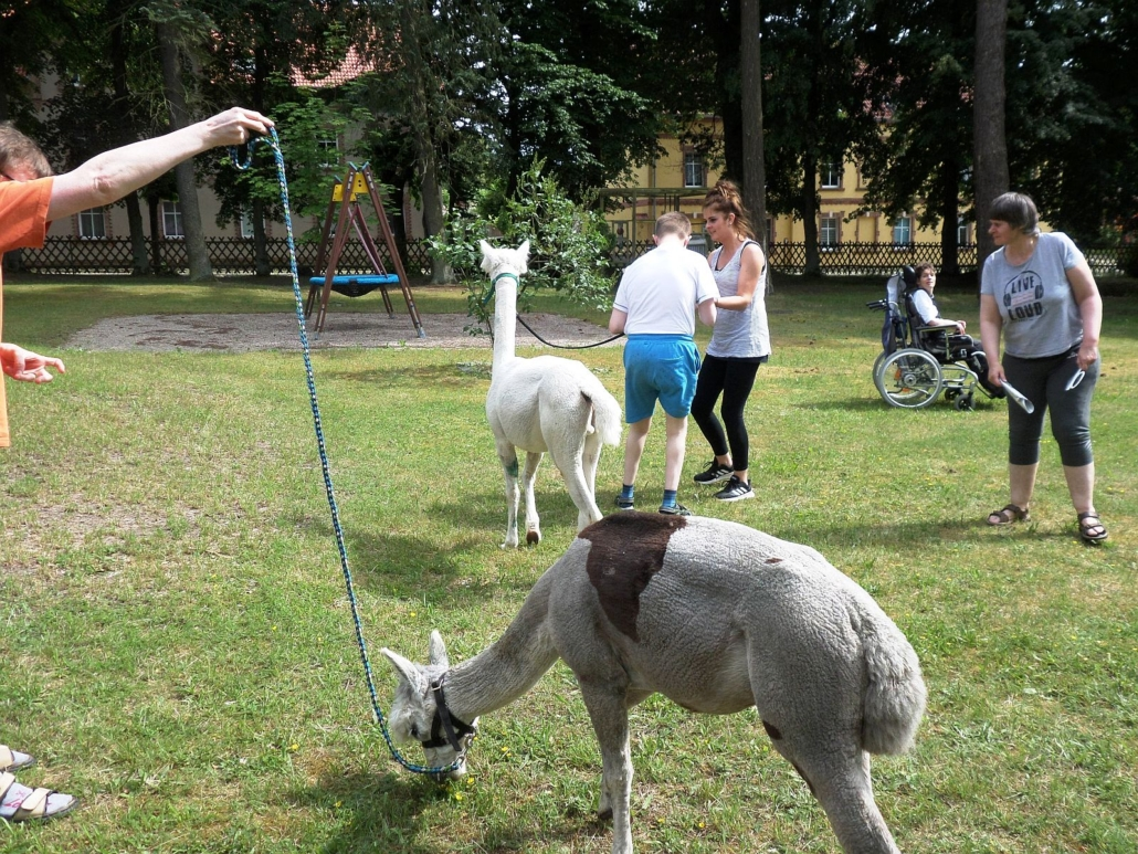 Die Bewohner*innen sind mit den Alpakas auf einer Wiese unterwegs. Hinter ihnen fährt eine Frau im Rollstuhl vorbei.
