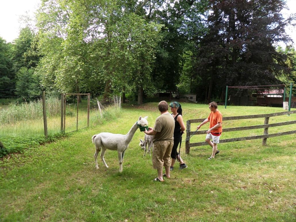 Das weiße Alpaka wir von einem Bewohner aus einer grünen Schüssel gefüttert. Daneben steht die Besitzerin. Das andere Alpaka frist Gras und wird von einem Bewohner an der langen Leine gehalten.