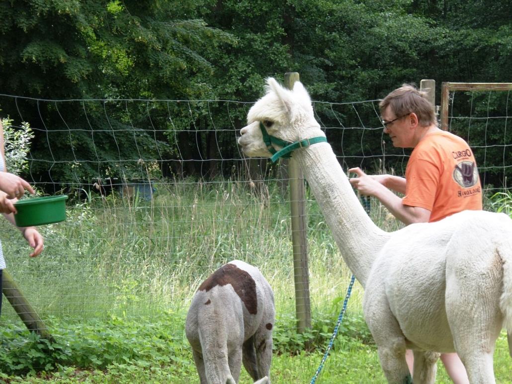Das weiße Alpaka blickt neugierig auf die grüne Schüssel mit Futter, die am linken Rand zu sehen ist. Das andere Alpaka frisst Gras, Rechts neben den beiden steht ein Bewohner mit orangenem T-Shirt und hält eine Leine.