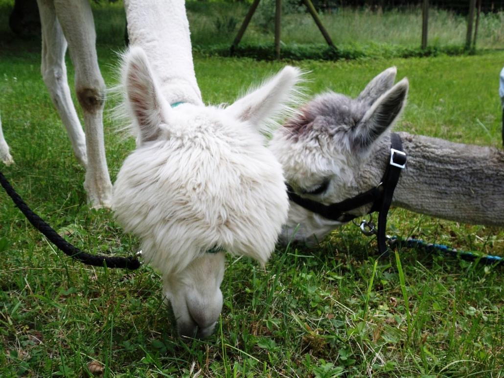 Auf dem Bild sind nur die beiden Köpfe der Alpakas beim Grasfressen zu sehen.