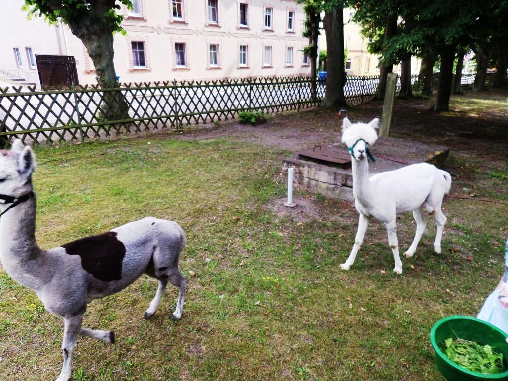 Die beiden Alpakas laufen mit Halfter, aber ohne Leine über den Hof.