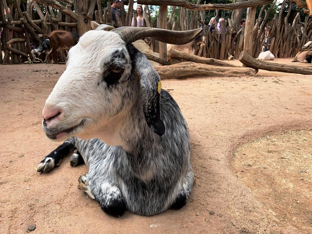 Eine graue Ziege mit weißem