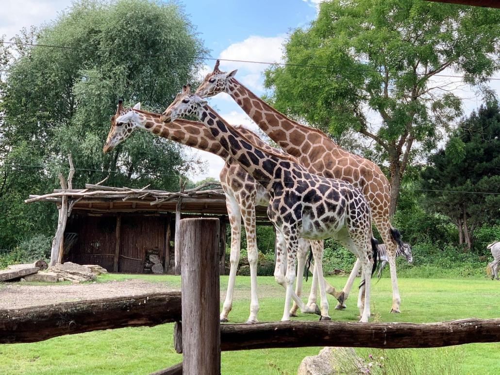Drei Giraffen stehen in ihrem Gehege. Dabei liegt der Kopf der einen immer auf dem Hals der vor ihr stehenden Giraffe. Im Hintergrund ist ein Zebra vor hohen Bäumen zu sehen.